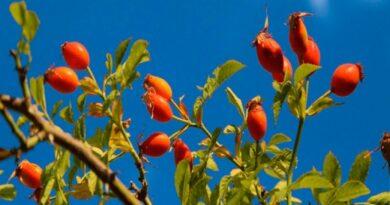 La Rosa Mosqueta con potencialidad de biocombustible